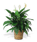 Spathiphyllum Plant from Ashland Florist in Lexington, KY