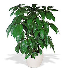 Schefflera from Ashland Florist in Lexington, KY